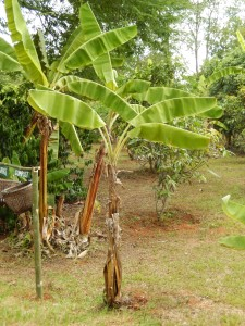 Banana trees from the organic farm tended by the children.