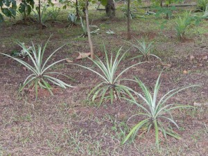 Pineapples growing on the organic farm tended by the children.